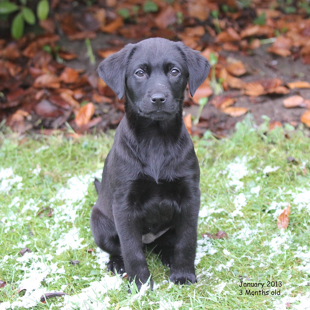 My Labrador called Poppy when she was three months old.